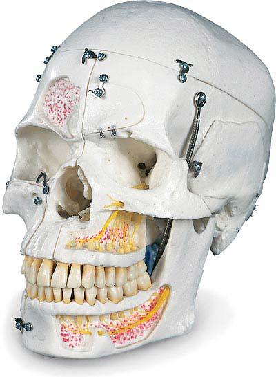 【送料無料】【無料健康相談付】3B社 頭蓋骨模型 頭蓋10分解デラックスモデル (a27)
