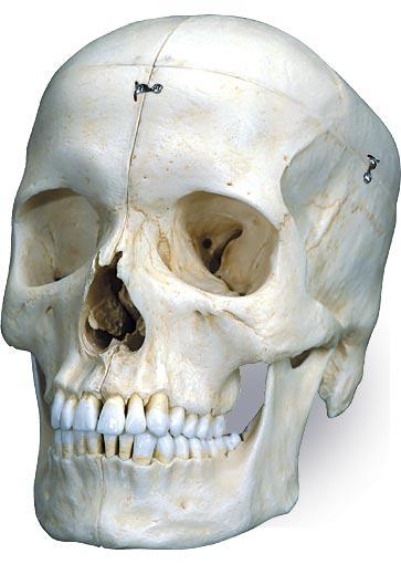 【送料無料】【無料健康相談 対象製品】3B社 頭蓋骨模型 頭蓋高精度型6分解コンプリートモデル (a281)