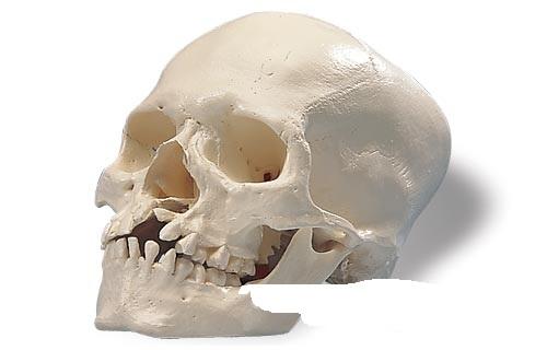 【送料無料】【無料健康相談 対象製品】3B社 頭蓋骨模型 口蓋裂症頭蓋モデル (a29-3)