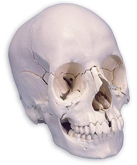 【送料無料】【無料健康相談 対象製品】3B社 頭蓋骨模型 頭蓋骨22分解キットナチュラルカラー仕様 (a290)