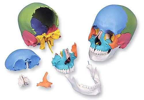 【送料無料】【無料健康相談 対象製品】【特価販売】 3B社 頭蓋骨模型 頭蓋骨22分解キットマルチカラー仕様 (a291)