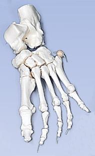 【感謝価格】3B社 足骨格模型 A30/2 足の骨モデルナイロン 糸つなぎ   【smtb-s】 【fsp2124-6m】【02P06Aug16】