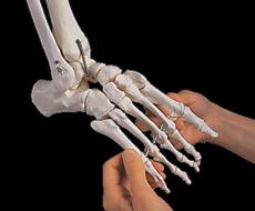 【送料無料】【感謝価格】【特価販売】 3B社 足骨格模型 A31/1 足の骨モデル脛骨・腓骨付き エラスティックコードつなぎ   【smtb-s】 【fsp2124-6m】【02P06Aug16】