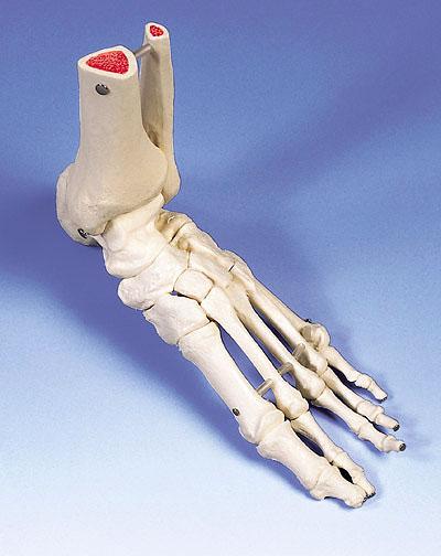 【感謝価格】【特価販売】 3B社 足骨格模型 A31L 足の骨モデル脛骨・腓骨付き ワイヤーつなぎ