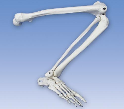 【送料無料】【無料健康相談 対象製品】【特価販売】 3B社 下肢骨格模型 自由下肢骨 A35R 自由下肢骨モデル   【smtb-s】 【fsp2124-6m】【02P06Aug16】