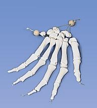 【感謝価格】3B社 手骨模型(手根骨・指骨) A40/2 手の骨モデル ナイロン糸つなぎ