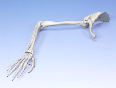 【送料無料】【感謝価格】【特価販売】 3B社 上肢骨模型 A46 上肢骨モデル上肢帯付   【smtb-s】 【fsp2124-6m】【02P06Aug16】