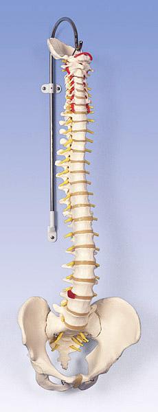 【送料無料】【無料健康相談 対象製品】3B社 脊柱模型 脊柱可動型モデル標準型 (a58-1)   【smtb-s】 【fsp2124-6m】【02P06Aug16】
