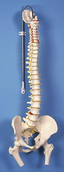 【送料無料】【無料健康相談 対象製品】3B社 脊柱模型 脊柱可動型モデル大腿骨付 (a58-2)   【smtb-s】 【fsp2124-6m】【02P06Aug16】