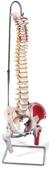 【送料無料】【無料健康相談 対象製品】3B社 脊柱模型 脊柱可動型モデル大腿骨筋・起始/停止表示付 (a58-3)