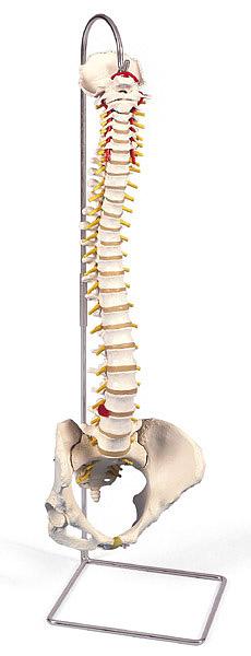 【送料無料】【無料健康相談付】3B社 脊柱模型 脊柱可動型モデル女性骨盤仕様 (a58-4)