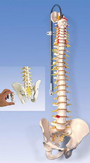 【送料無料】【無料健康相談 対象製品】3B社 脊柱模型 脊柱可動型モデル延髄馬尾付 (a58-5)   【smtb-s】 【fsp2124-6m】【02P06Aug16】
