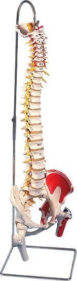 【送料無料】【無料健康相談 対象製品】3B社 脊柱模型 脊柱可動型モデル延髄馬尾大腿骨筋・起始/停止表示付 (a58-7)