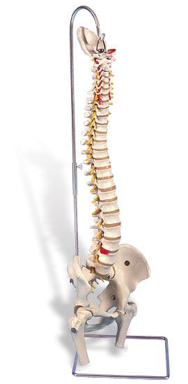 【送料無料】【無料健康相談 対象製品】3B社 脊柱模型 脊柱可動型モデル金属管使用タイプ大腿骨付 (a59-2)