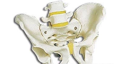 【送料無料】【感謝価格】3B社 骨盤模型 男性骨盤モデル (a60)