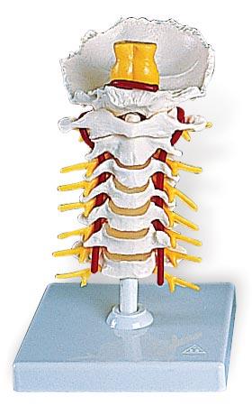 【送料無料】【感謝価格】【特価販売】 3B社 頚椎模型 頚椎モデル (a72)   【smtb-s】 【fsp2124-6m】【02P06Aug16】