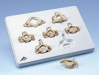 【送料無料】【無料健康相談 対象製品】3B社 脊椎骨模型 頚椎7個セット (a790)