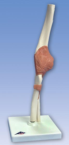 【送料無料】【感謝価格】3B社 靭帯付肘関節模型 肘関節機能モデル (a83)   【smtb-s】 【fsp2124-6m】【02P06Aug16】