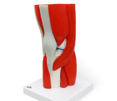 【送料無料】【無料健康相談 対象製品】3B社 筋肉付膝関節模型 膝関節筋付12分解モデル (a882)   【smtb-s】 【fsp2124-6m】【02P06Aug16】