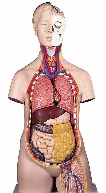 【送料無料】【無料健康相談 対象製品】3B社 トルソー解剖模型 トルソー12分解モデル無性 (b09)