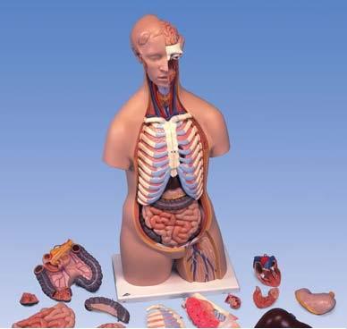 【送料無料】【無料健康相談 対象製品】3B社 トルソー解剖模型 トルソー16分解モデル無性 (b11)