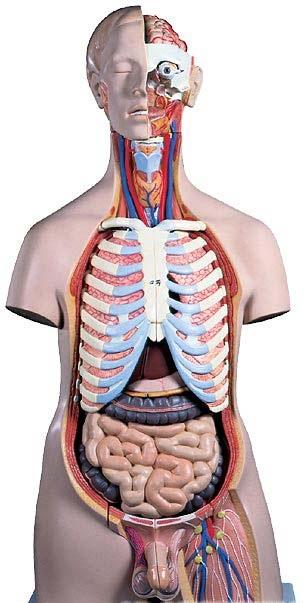 Shop De Clinic 3 Bs Torso Anatomy Model Male Torso 20