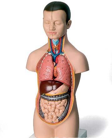 【送料無料】【無料健康相談 対象製品】3B社 トルソー解剖模型 ミニトルソー12分解モデル無性 (b22)