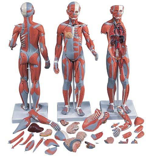 【送料無料】【無料健康相談 対象製品】3B社 筋肉解剖模型 筋肉解剖1/2倍大・33分解モデル両性 (b55)