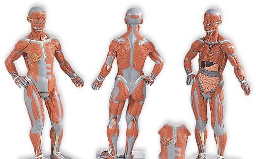 【送料無料】【無料健康相談付】3B社 筋肉解剖模型 筋肉解剖1/4倍大・2分解モデル無性 (b59)