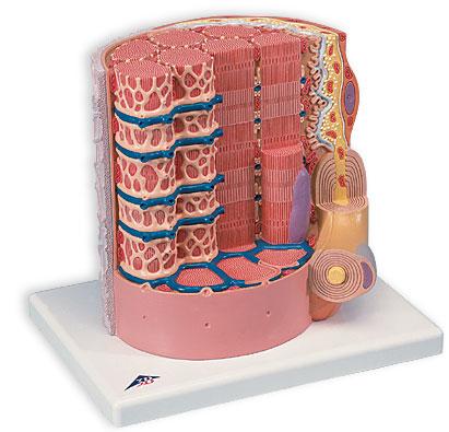 【送料無料】【無料健康相談 対象製品】3B社 人体組織拡大模型 筋繊維モデル (b60)