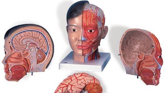 【送料無料】【無料健康相談 対象製品】3B社 頭・頚部模型 頭部頚部付4分解モデルアジア仕様 (c06)