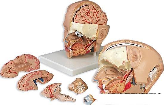 【送料無料】【無料健康相談 対象製品】3B社 頭部断面模型 頭部6分解デラックスモデル台付 (c09-1)
