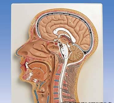 【送料無料】【無料健康相談 対象製品】3B社 頭部断面模型 頭部断面モデル正中矢状断 (c12)