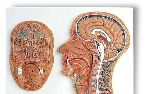 【送料無料】【無料健康相談 対象製品】3B社 頭部断面模型 頭部断面モデル正中矢状断前額断 (c13)