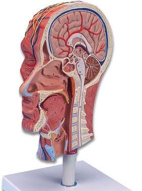 【送料無料】【無料健康相談 対象製品】3B社 頭部模型 頭部ハーフモデル (c14)