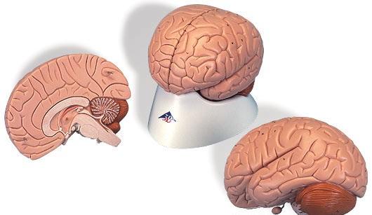 【送料無料】【無料健康相談 対象製品】3B社 脳模型 脳2分解モデル (c15)