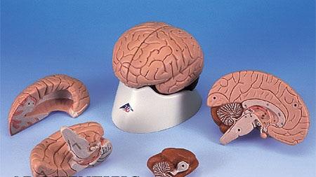 【送料無料】【無料健康相談付】3B社 脳模型 脳4分解モデル標準型 (c16)   【smtb-s】 【fsp2124-6m】【02P06Aug16】