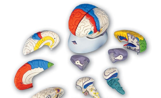 【送料無料】【無料健康相談 対象製品】3B社 脳模型 脳8分解神経学モデル (c22)   【smtb-s】 【fsp2124-6m】 【02P06Aug16】