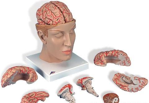 【送料無料】【無料健康相談 対象製品】3B社 脳模型 脳9分解モデル動脈頭蓋底付 (c25)