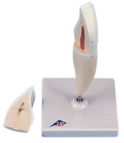 【送料無料】【無料健康相談 対象製品】3B社 歯模型 下顎切歯(門歯)モデル縦断2分解 (d10-1)   【smtb-s】 【fsp2124-6m】【02P06Aug16】