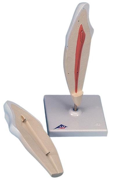 【送料無料】【無料健康相談 対象製品】3B社 歯模型 下顎犬歯モデル縦断2分解 (d10-2)   【smtb-s】 【fsp2124-6m】【02P06Aug16】