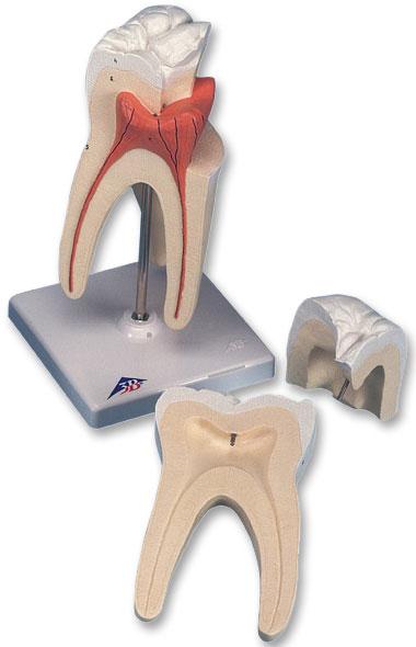 【送料無料】【無料健康相談 対象製品】3B社 歯模型 上顎大臼歯(3根)モデル縦断3分解 (d10-5)   【smtb-s】 【fsp2124-6m】【02P06Aug16】