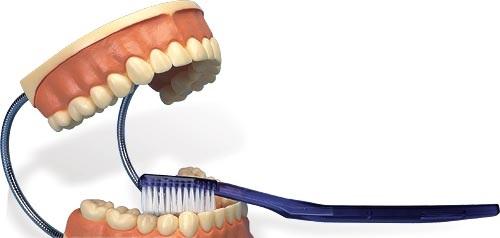 【送料無料】【無料健康相談付】3B社 歯・口腔模型 歯磨き指導用3倍大モデル (d16)