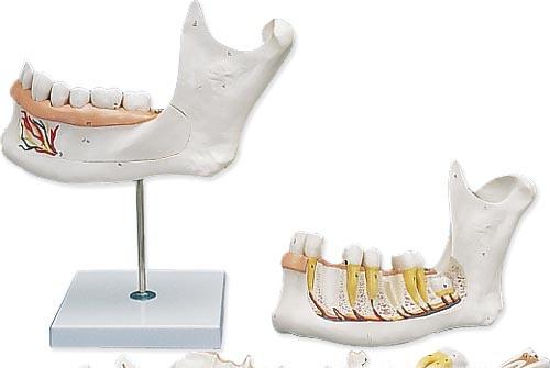 【送料無料】【無料健康相談 対象製品】3B社 歯・口腔模型 下顎3倍大・6分解モデル (d25)   【smtb-s】 【fsp2124-6m】【02P06Aug16】
