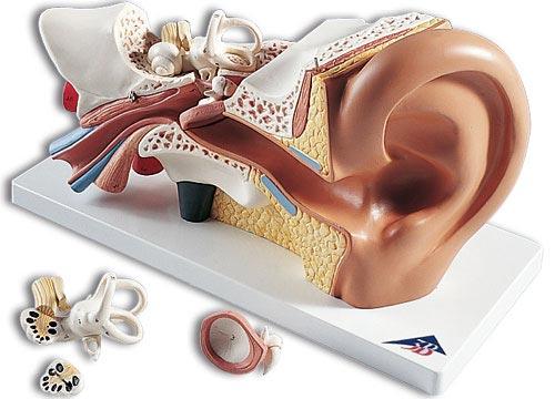 【送料無料】【無料健康相談 対象製品】3B社 平衡聴覚器模型(耳模型) 平衡聴覚器3倍大・4分解モデル標準型 (e10)   【smtb-s】 【fsp2124-6m】【02P06Aug16】