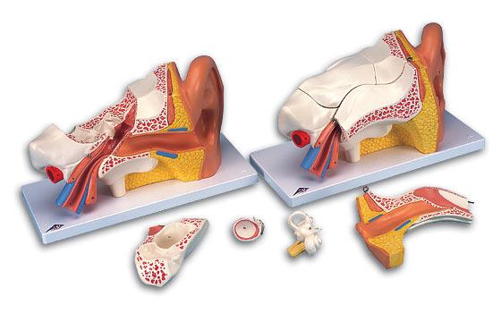 【送料無料】【無料健康相談 対象製品】3B社 平衡聴覚器模型(耳模型) 平衡聴覚器3倍大・6分解モデルアドバンス型 (e11)