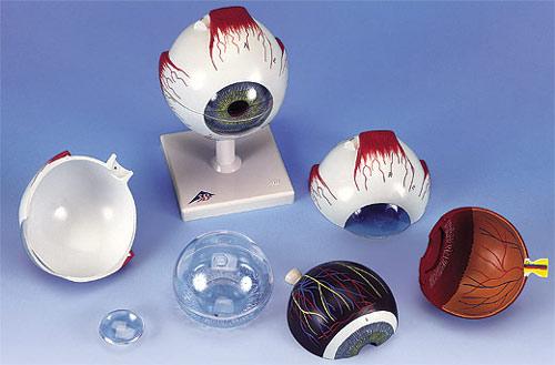 【送料無料】【無料健康相談付】【特価販売】 3B社 眼球模型 視覚器(眼球)5倍大・6分解ジャイアントモデル (f10)   【smtb-s】 【fsp2124-6m】【02P06Aug16】