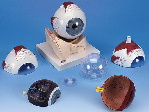 【送料無料】【無料健康相談 対象製品】3B社 眼球模型 視覚器(眼球)5倍大・7分解ジャイアントモデル眼窩床付 (f11)