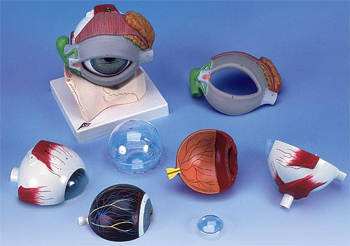 【送料無料】【無料健康相談 対象製品】【特価販売】 3B社 眼球模型 視覚器(眼球)5倍大・8分解ジャイアントモデル眼窩床・眼瞼・涙器付 (f12)