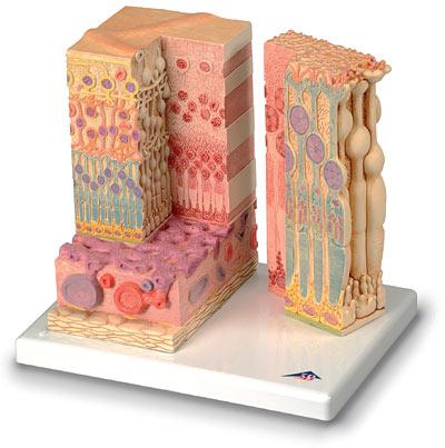 【送料無料】【無料健康相談 対象製品】3B社 人体組織拡大模型 網膜の組織構造モデル (f16)   【smtb-s】 【fsp2124-6m】【02P06Aug16】
